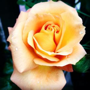 The Authors homegrown Glenfiddich Rose named for its Golden Amber colour, introduced in 1976.