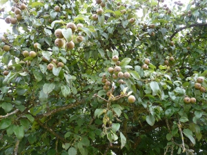 Lemorton Pear Varietals