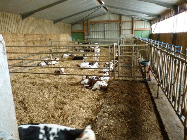 Lemorton Calves